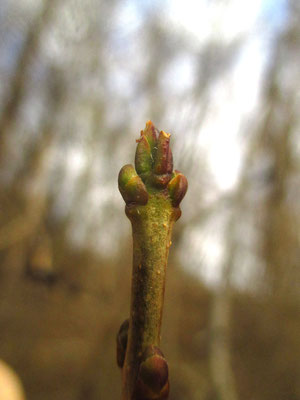 Gewöhnlicher Liguster (Ligustrum vulgare) | Knospe