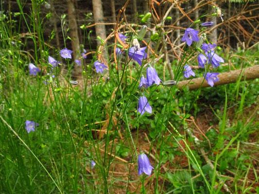 Rundblatt-Glockenblume (Campanula rotundifolia) | Fam. Glockenblumengewächse (Campanulaceae)