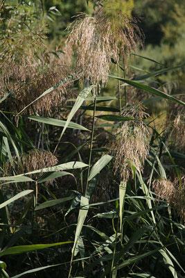 Gewöhnliches Schilf (Phragmites australis)