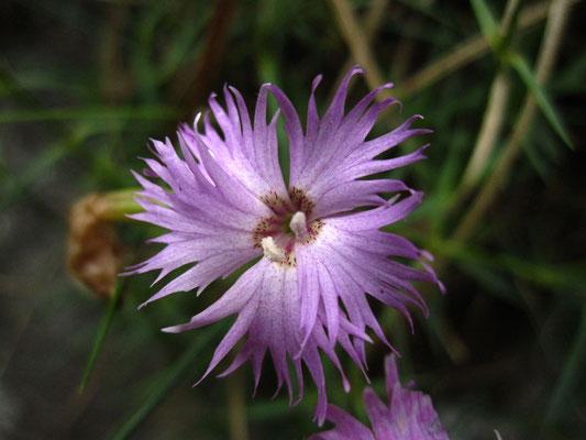 Steirische Feder-Nelke (Dianthus plumarius)
