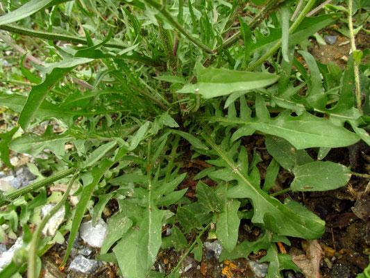 Grün-Pippau (Crepis capillaris)