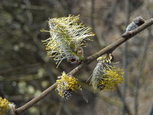 Sal-Weide (Salix caprea)   männliche Blüten