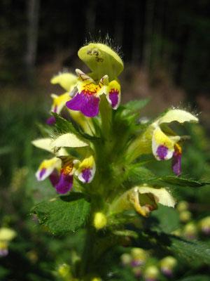 Bunt-Hohlzahn (Galeopsis speciosa)