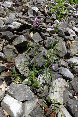 Schmalblatt-Hohlzahn (Galeopsis angustifolia)