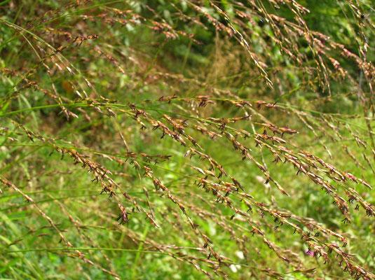 Pfeifengras (Molinia caerulea agg.)