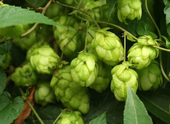 Echter Hopfen (Humulus lupulus)   weibliche Pflanze