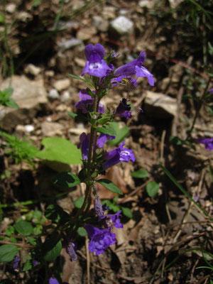 Alpen-Steinquendel (Clinopodium alpinum)
