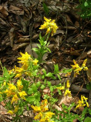 Deutsch-Ginster (Genista germanica)