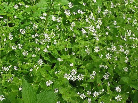 Wald-Sternmiere (Stellaria nemorum)
