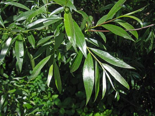 Silber-Weide (Salix alba)