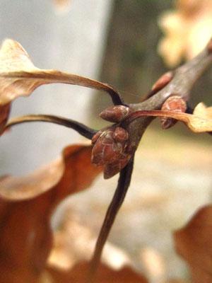 Trauben-Eiche (Quercus petraea)   Knospen