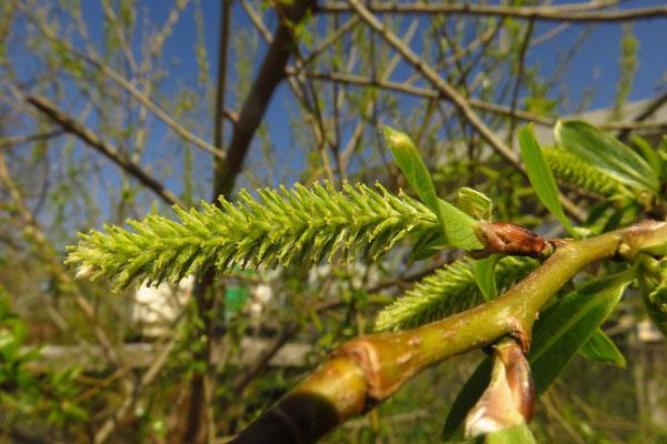 Bruch-Weide (Salix fragilis)   weibliche Blüte