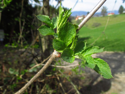 Schwarz-Holunder (Sambucus nigra)