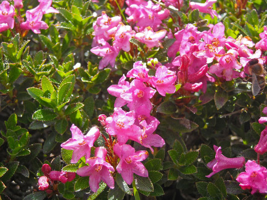 Wimper-Alpenrose (Rhododendron hirsutum)