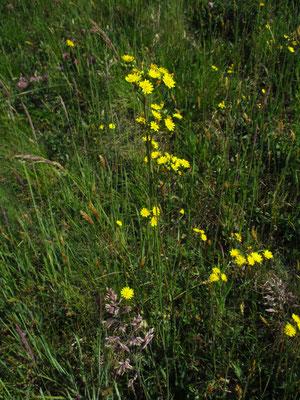 Bauhin-Habichtskraut (Hieracium bauhini)