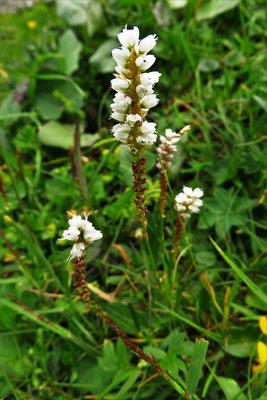 Knöllchen-Knöterich (Persicaria vivipara)