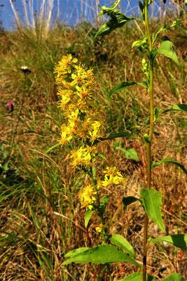 Echte Goldrute (Solidago virgaurea) | Fam. Korbblütler (Asteraceae)
