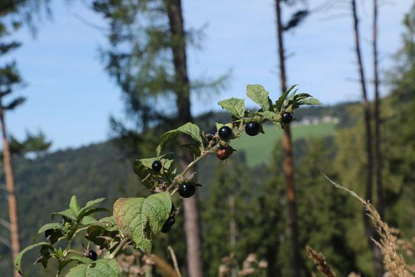 Echte Tollkirsche (Atropa belladonna) | Fam. Nachtschattengewächse
