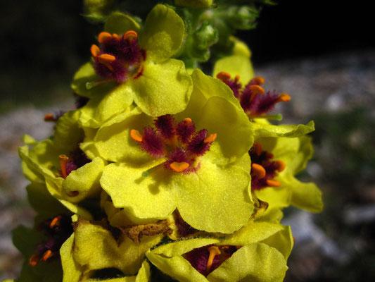 Dunkel-Königskerze (Verbascum nigrum)