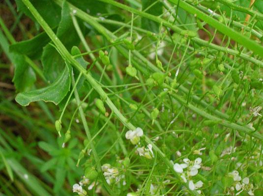 Pfeilkresse (Lepidium draba)