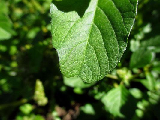 Stutzblatt-Amaranth (Amaranthus blitum)