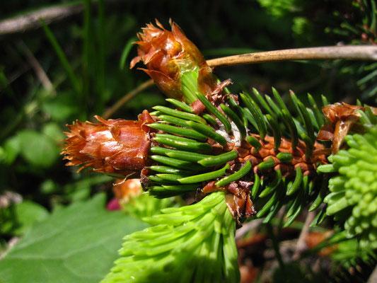Gewöhnliche Fichte (Picea abies) | Knospe