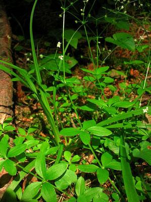 Rundblatt-Labkraut (Galium rotundifolium)