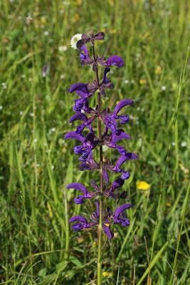 Wiesen-Salbei (Salvia pratensis) | Familie: Lippenblütler