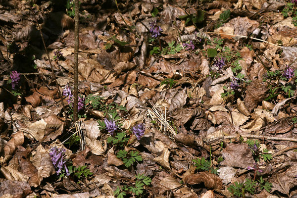 Finger-Lerchensporn (Corydalis solida)