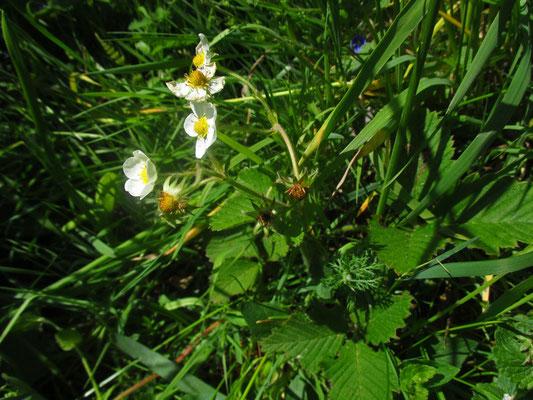 Zimt-Erdbeere (Fragaria moschata)