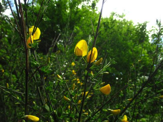 Besenginster (Cytisus scoparius)