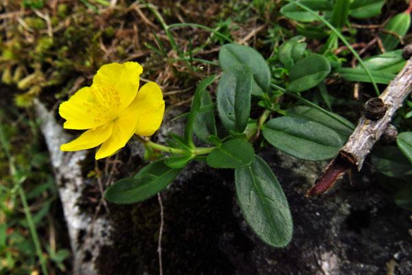 Gewöhnliches Sonnenröschen (Helianthemum nummularium) | Fam. Zistrosengewächse (Cistaceae)