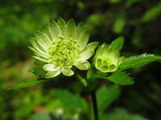 Groß-Sterndolde (Astrantia major)