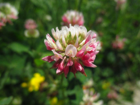 Schweden-Klee (Trifolium hybridum)