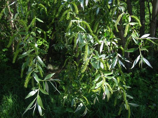 Silber-Weide (Salix alba)   weibliche Pflanze