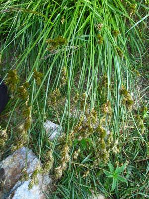 Hasen-Segge (Carex leporina)
