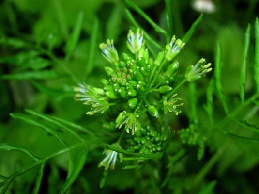 Spring-Schaumkraut (Cardamine impatiens)