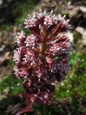 Bach-Pestwurz (Petasites hybridus) | männliche Pflanze