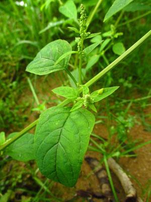 Vielsamen-Gänsefuß (Chenopodium polyspermum)