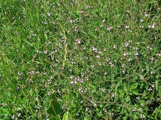 Echtes Eisenkraut (Verbena officinalis)