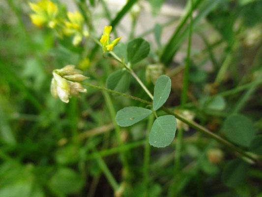 Faden-Klee (Trifolium dubium)