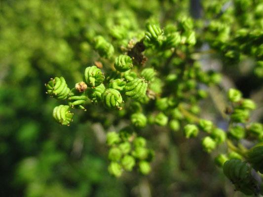 Großes Mädedsüß (Filipendula ulmaria)