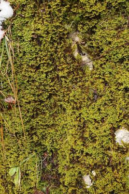 Weiches Kammmoos (Ctenidium molluscum)