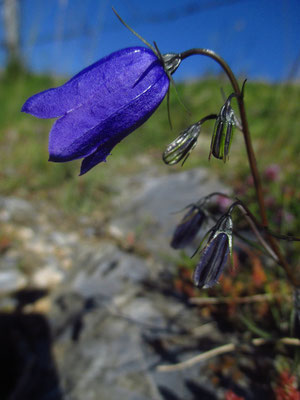 Scheuchzer-Glockenblume (Campanula scheuchzeri) | Fam. Glockenblumengewächse (Campanulaceae)