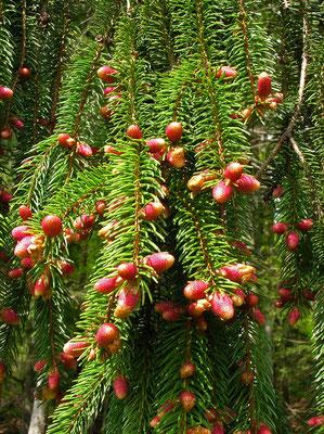 Gewöhnliche Fichte (Picea abies) | männliche Blütenn