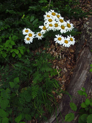 Strauß-Wucherblume (Tanacetum corymbosum s.lat.)