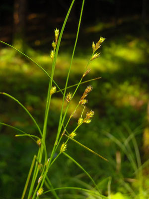Winkel-Segge (Carex remota)
