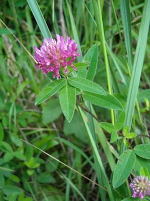 Zickzack-Klee (Trifolium medium)