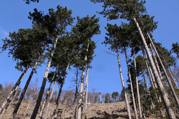 Schwarz-Föhre (Pinus nigra)