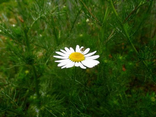 Geruchlos-Ruderalkamille (Tripleurospermum indorum)